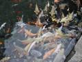 鲤鱼养殖技术与鱼塘管理